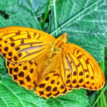 colori della farfalla