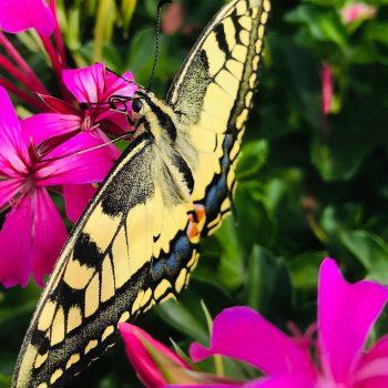 La farfalla un fiore che vola