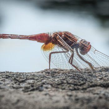 libellula illuminata