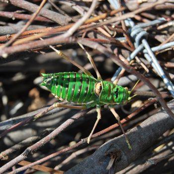 Mamuthone verde