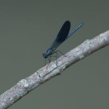 Damigella blu
