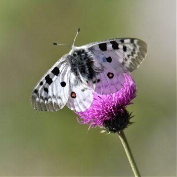 Farfalla Parnassius apollo
