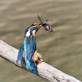 Martin pescatore con preda