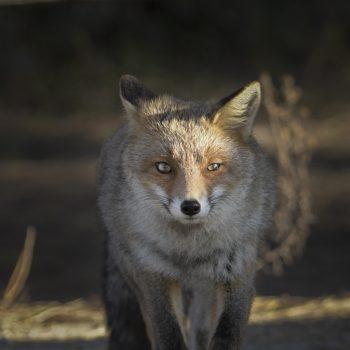 fox pride