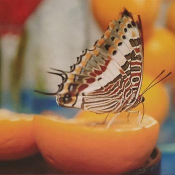 Ciclo vitale delle farfalle:  Adulto