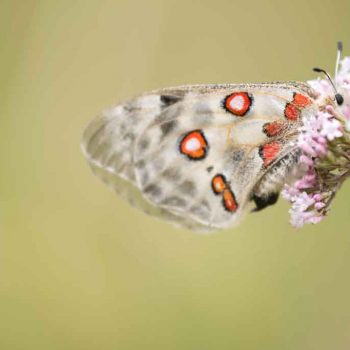 Parnassius apollo_2