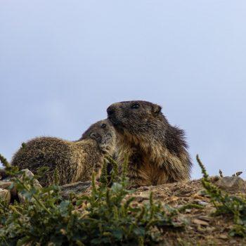 Affetto tra marmotte