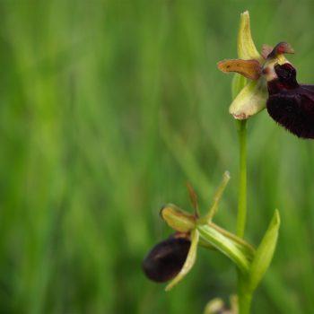 Ophrys apifera Huds, ovvero una meraviglia di orchidea ai Magredi