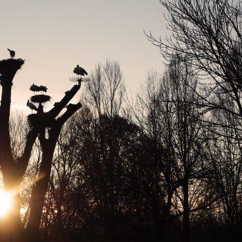 Cicogne bianche al tramonto