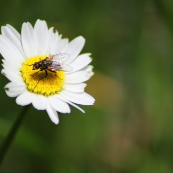 the fly and the daisy