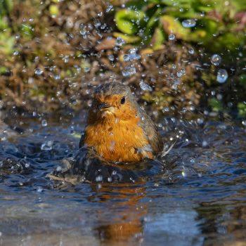 il bagnetto del Pettirosso