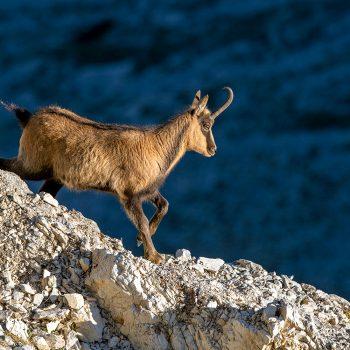 Camoscio dei Monti Sibillini
