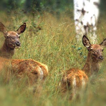 Mamma cervo con cerbiatto