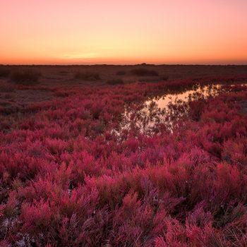 Distesa di Salicornia Rossa
