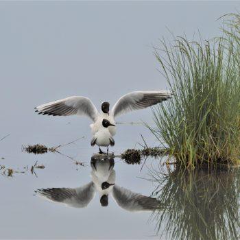 Gabbiani comuni in accoppiamento