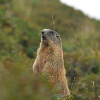 il segnale della marmotta