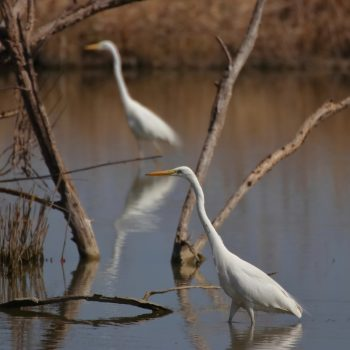 The Egrets Synchronism