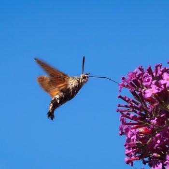 Sfinge colibrì