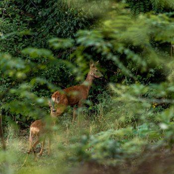 Caprioli nel bosco